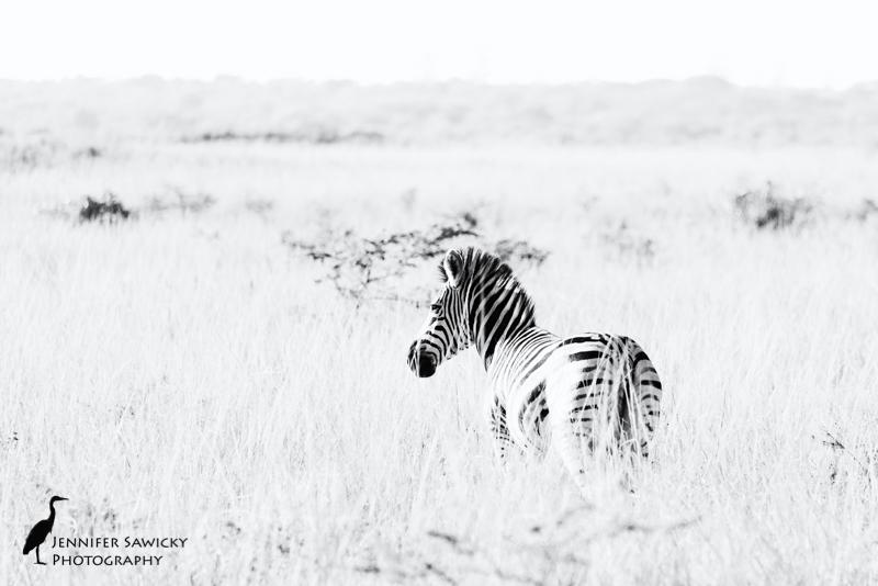 Black and White Zebra.