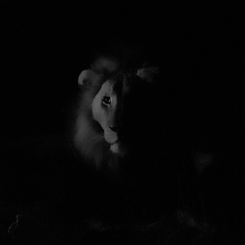 Male Lion at Night.