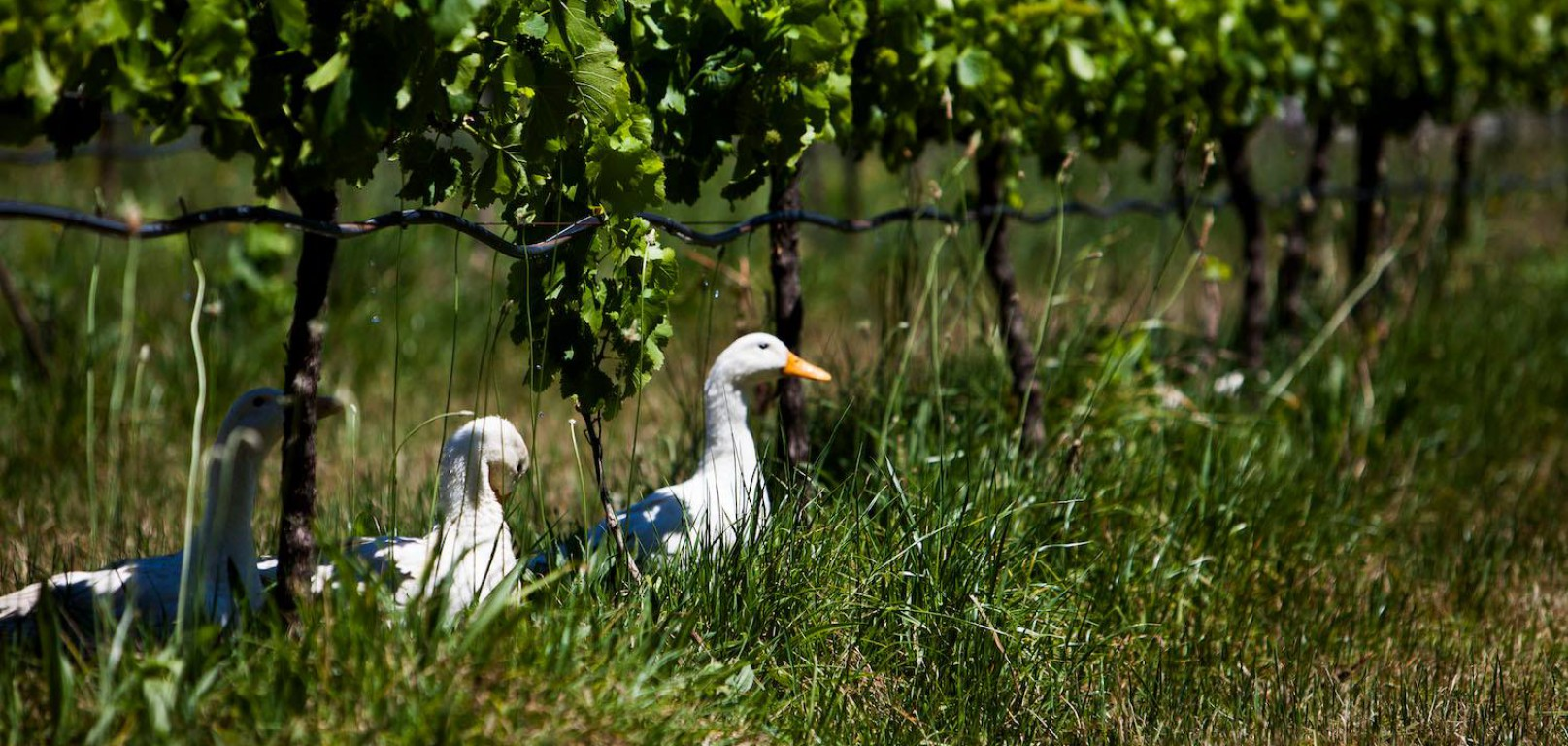 Learn why ducks are wine's best friend!