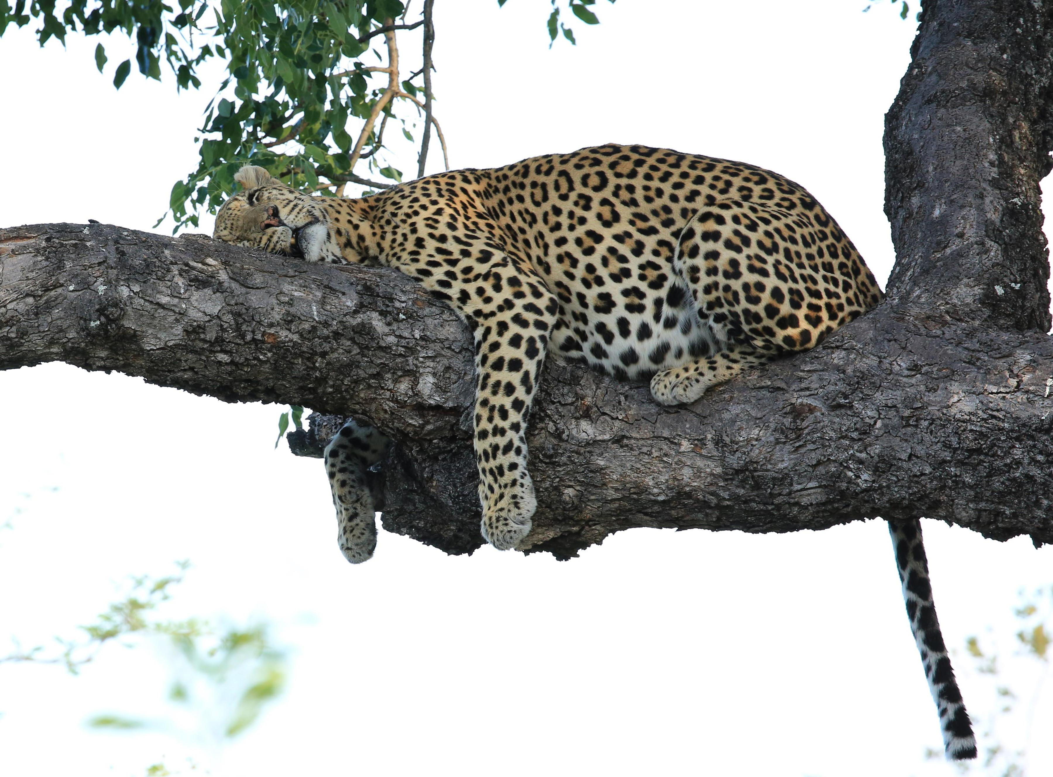 It is a Leopards Life in Kruger.