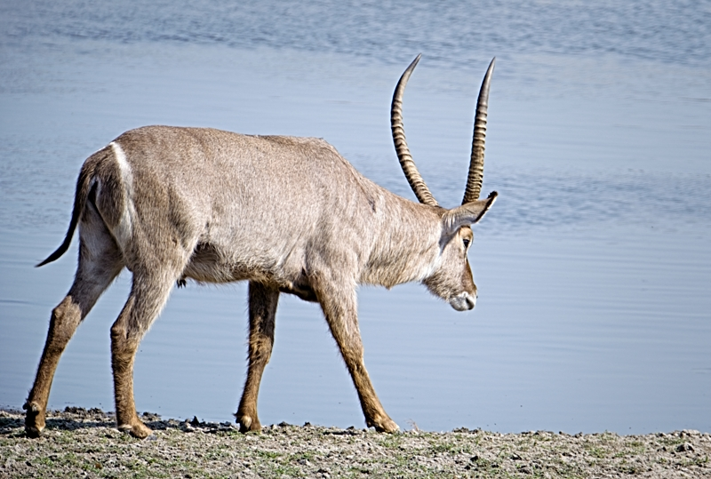 10am - Waterbuck. A Waterbuck heads to the dam for a drink.