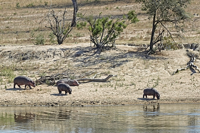 11am - Hippos. A group of Hippos head back to the water to beat the midday heat.