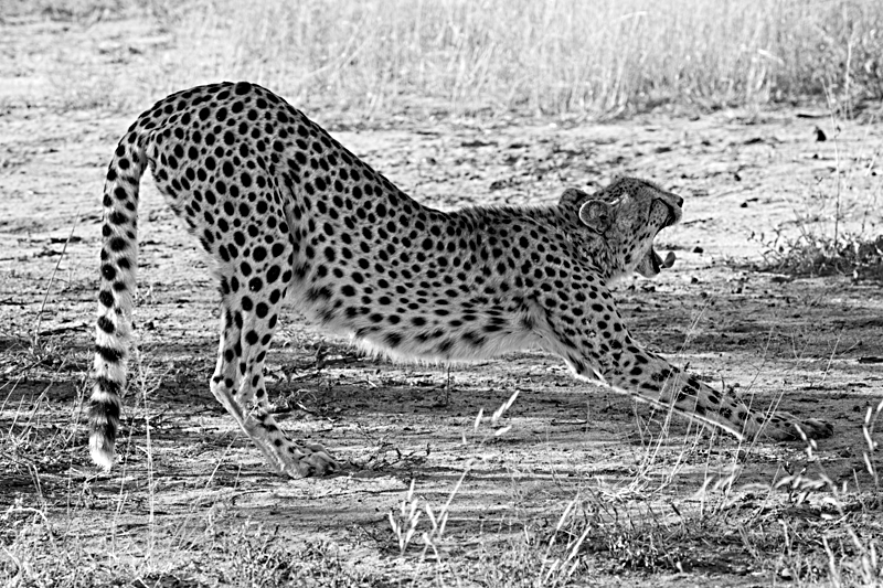 3pm - Cheetah. We'd only been out on game drive about 10 minutes when we came across this cheetah, and the chance to watch her stalking some impala. They spotted her right away so supper was not in her immediate future.