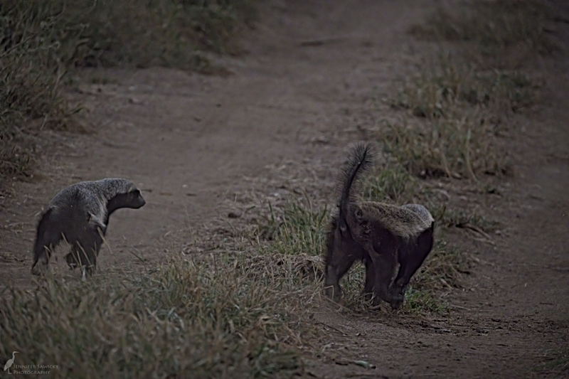 5pm - Honey Badgers. I had always wanted to see honey badgers and on my first game drive of the trip I finally had my chance. It only lasted about 30 seconds but it certainly was thrilling, even if all I could get were butt shots!