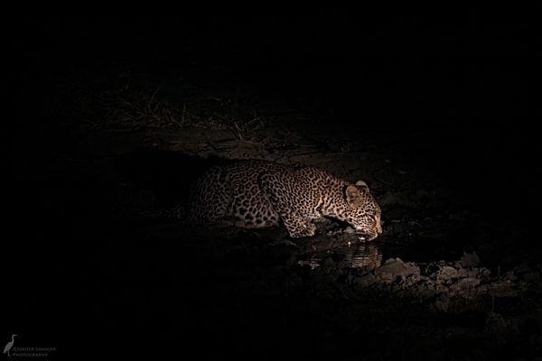 6pm - Leopard. We were heading back to camp fir drinks and dinner and came across this leopard heading in to this large puddle to drink. It was a quick stop before the leopard was on its way.