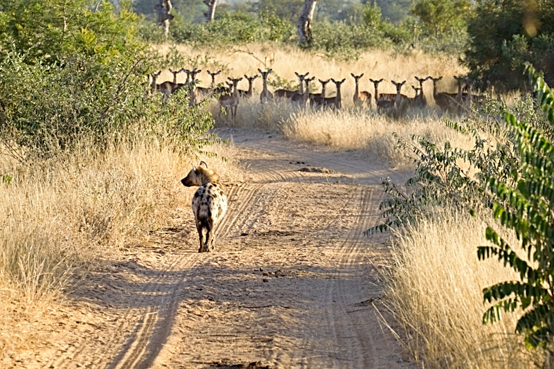 7am - Hyena and Impala. A group of Impala look on wearily as a Hyena approaches down the road.