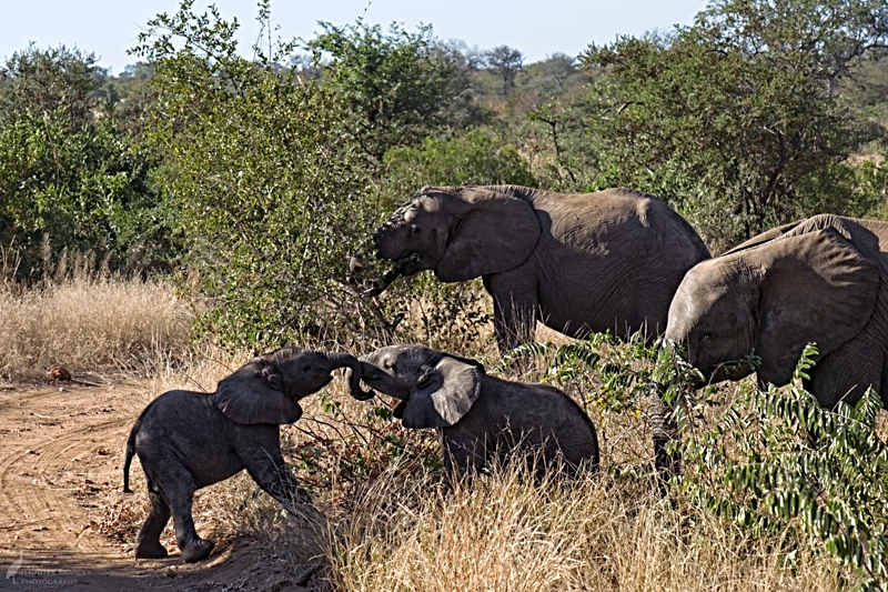 8am - Elephants. A pair of youngsters tussle while the older elephants graze nearby.