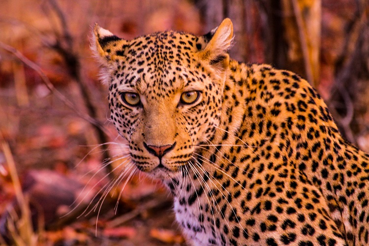 Sabi Sands - Leopard Country